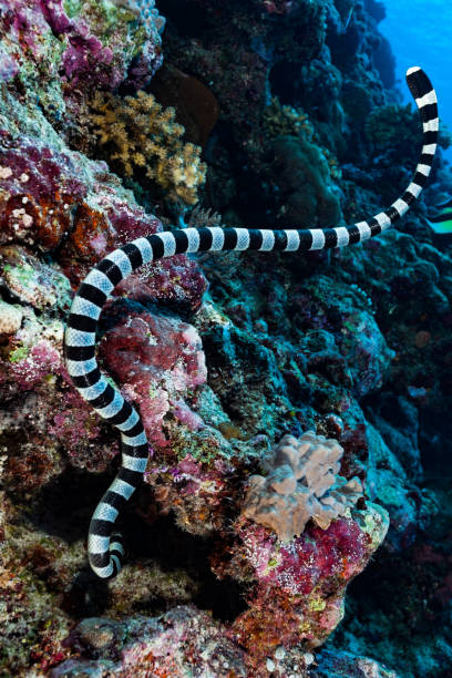 Banded Sea Snake Hunting, Checking Holes on a Reef of Peleliu Island, Palau, Micronesia stock photo