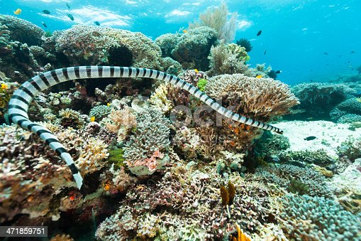 Banded Sea Snake Laticauda colubrina on a outer reef.