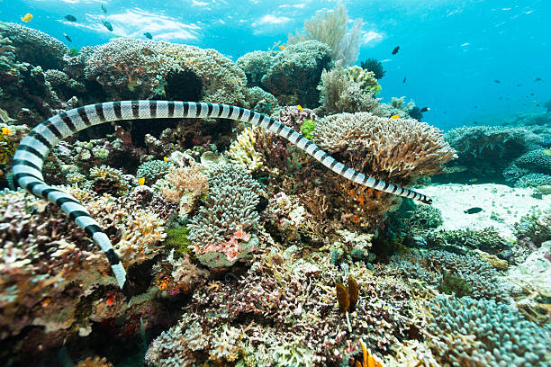 Banded Sea Snake Hunting on Outer Reef, Raja Ampat, Indonesia stock photo
