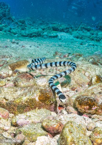 One Banded Sea Krait (Laticauda colubrina) close-up underwater swimming towards the photographer.  Also known as yellow-lipped sea krait and colubrine sea krait. This highly venomous sea snake feeds on small fish and eels.  It must breathe air and so comes to the surface frequently, before swimming back onto the reef. The location is Phi Phi islands, Andaman Sea, Krabi, Thailand.