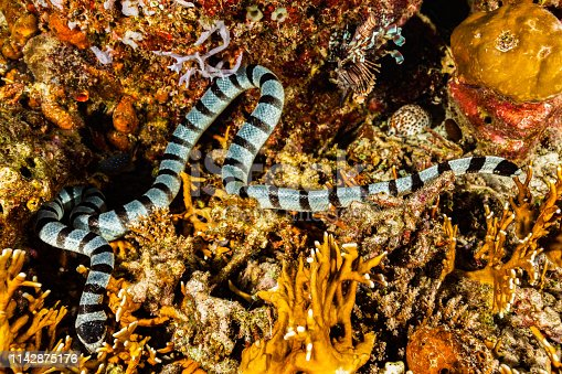 A Banded Sea Snake Laticauda colubrina hunting in a Fire Coral reef, checking every hole and every crevice, systematically, for quite a long time. The Banded Sea Snake Laticauda colubrina occurs in tropical Indo-Pacific. Males maimum length 88 cm, females 142 cm. The Banded Sea Snake is often seen in large numbers in the company of hunting parties of giant trevally (Caranx ignobilis) and goatfish. Their cooperative hunting technique is similar to that of the moray eel, with the Snakes flushing out prey from narrow crevices and holes. Sea Snakes need to drink fresh water and regularly come onto land for that purpose. A Tiger Cowrie Cypraea tigris, a Jewel Damsel Plectroglyphidodon lacrymatus and a Common Lionfish Pterois volitans are there too. Fire Corals Millepora sp. are not true corals, but members of the Cnidaria phylum, a member of the class Hydrozoa and more closely related to jellyfish. East Moyo Island, Sumbawa, Indonesia, 8°15'42