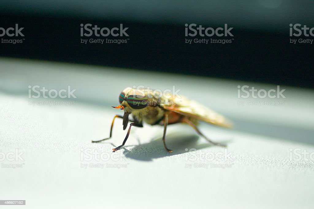 Band-eyed Brown Horsefly stock photo