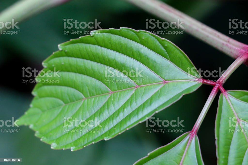 Bandicoot Berry at garden stock photo