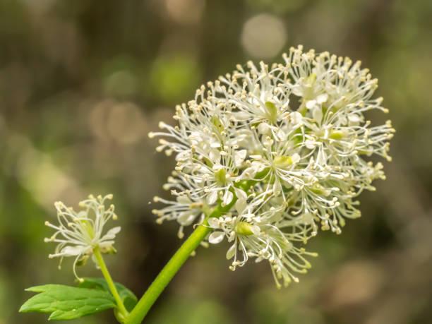 Baneberry flower in Spring, Colorado stock photo