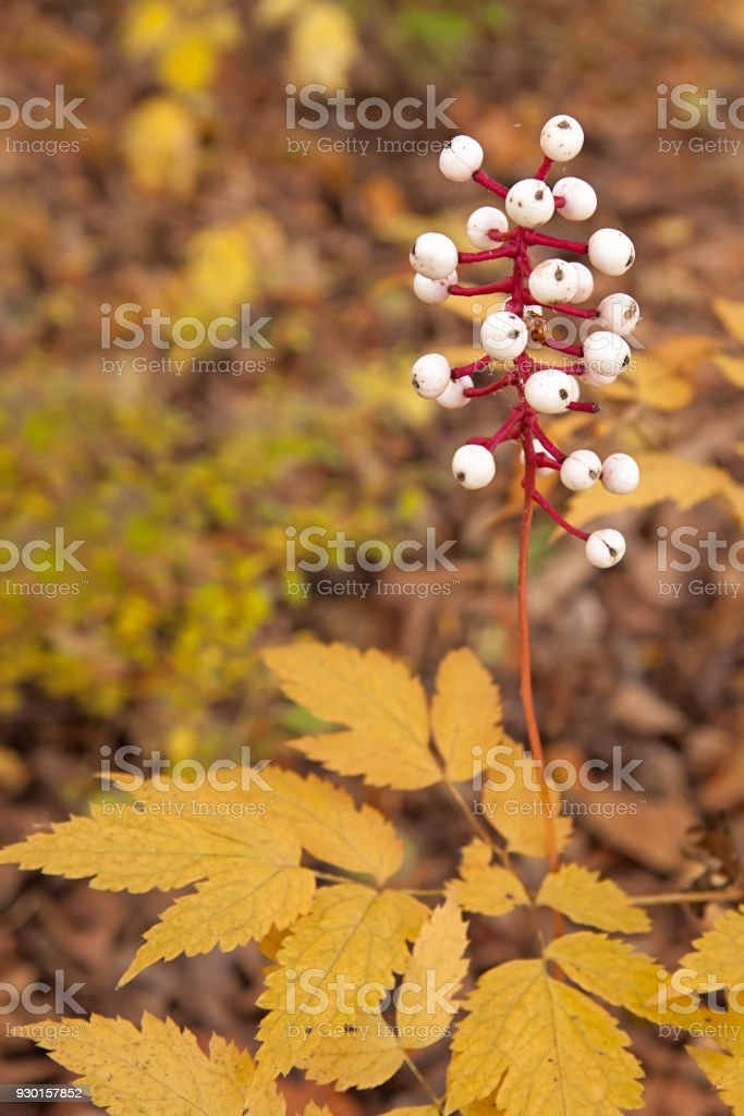 Baneberry Rises Above Autumn Woodland Floor stock photo