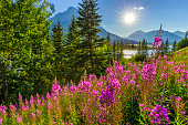 Wildflowers along the Icefields Parkway in Banff National Park in the Canadian Rockies