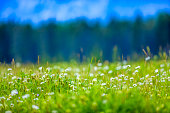 Meadow wildflowers in Banff National Park in the Canadian Rockies