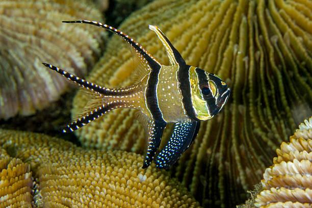 Banggai Cardinalfish stock photo