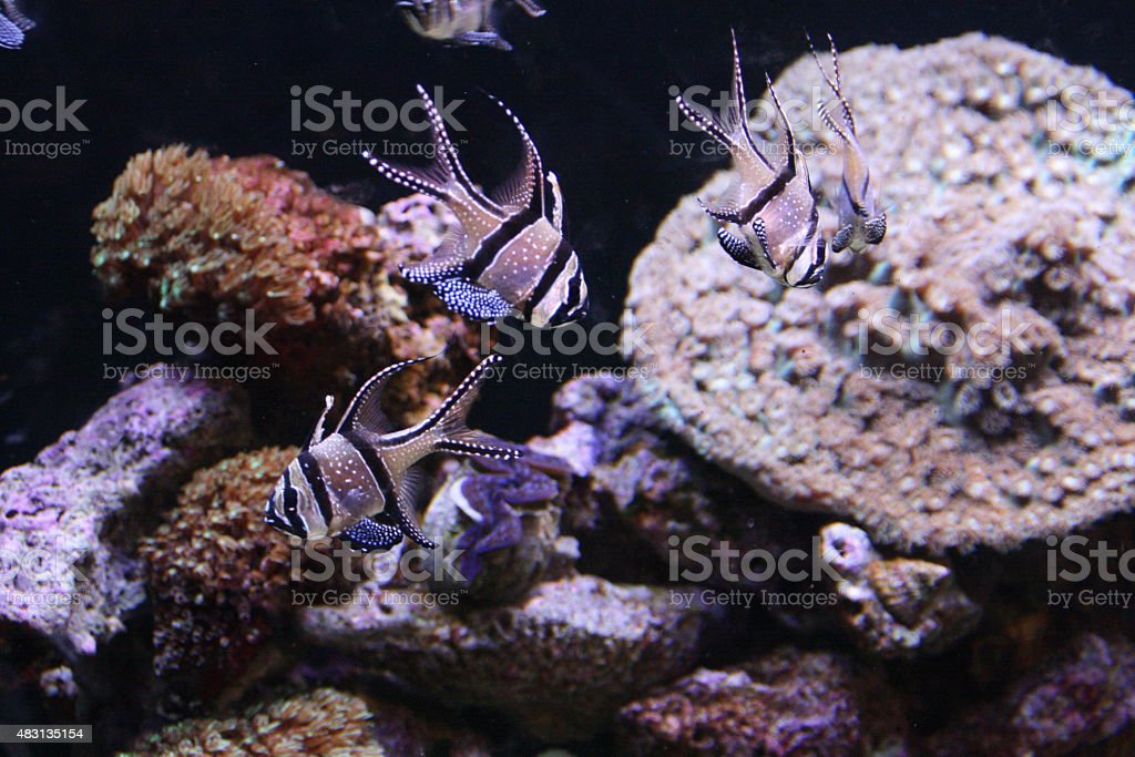 Banggai Cardinals stock photo
