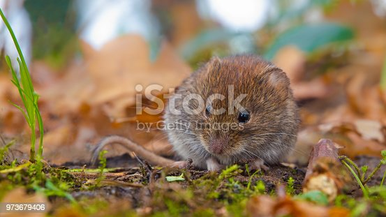 Bank vole (Clethrionomys glareolus) hiding between autumn leaves in natural forest habitat