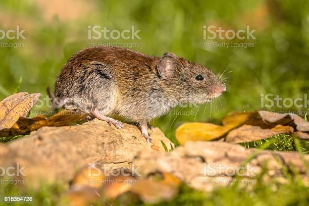 Photo of Bank vole posing on log