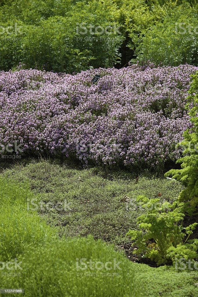 Banks of herbs in herb garden stock photo