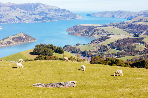 Banks Peninsula Sheep in New Zealand stock photo