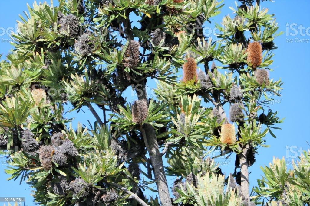 Banksia ashbyi in Western Australia stock photo
