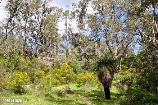 Horizontal image of woodlands, Yanchep, Australia