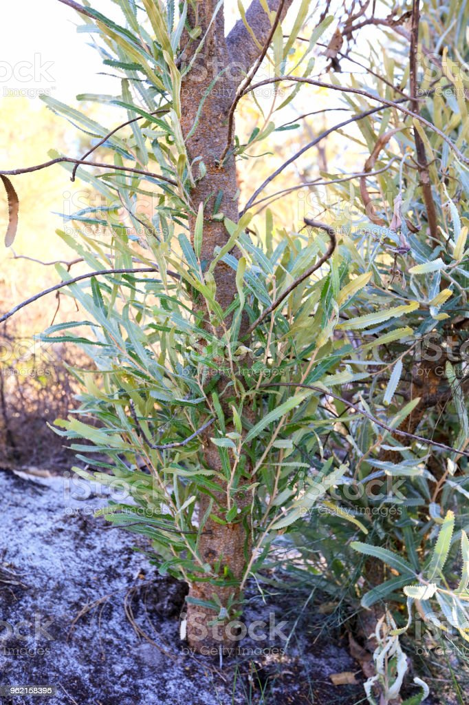 Banksia regeneration after a fire stock photo