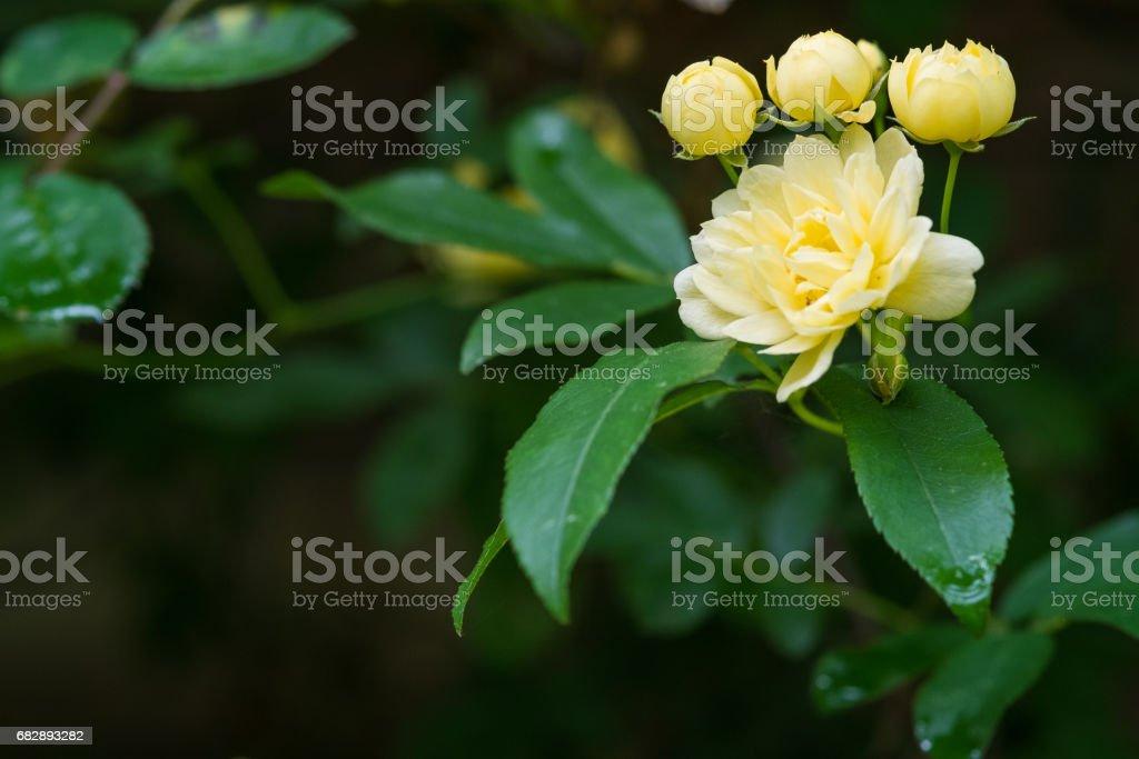 Banksia stieg. Lizenzfreies stock-foto