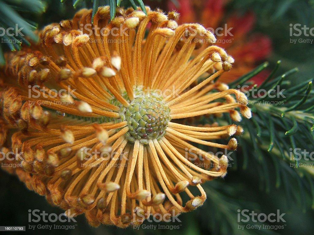 Banksia Tip stock photo