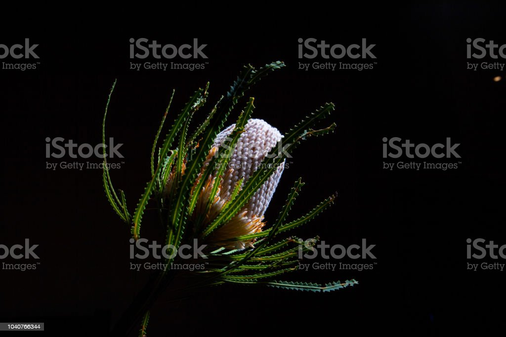 Banksia wild flower glowing on black background with copy space stock photo