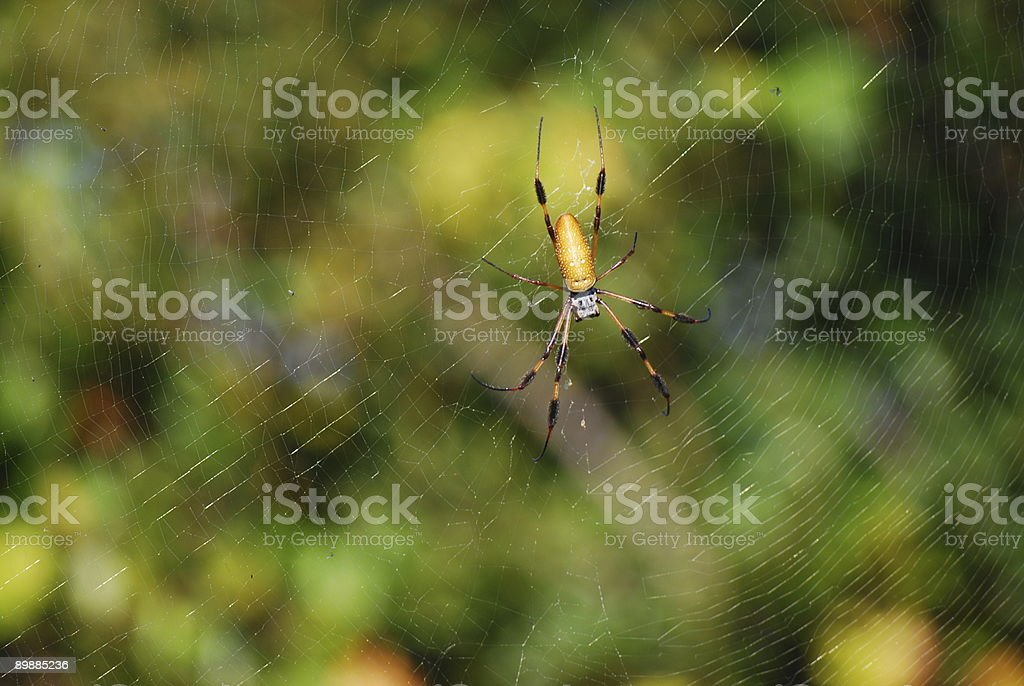 Bannana Spider royalty-free stock photo