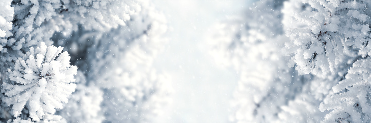 Banner 3:1. Winter Christmas scenic background. Snow landscape with spruce branches covered with snow. Sky and sunlight through the frozen tree branches. Copy space. Soft focus
