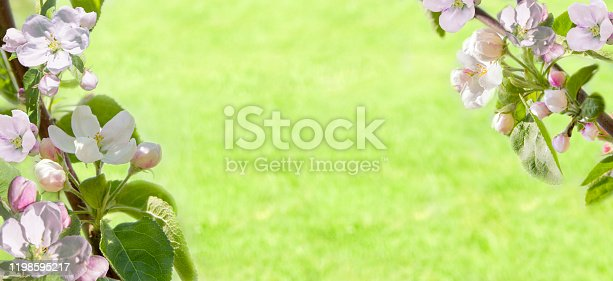 909680446 istock photo Banner branches of blossoming cherry on grown in organic garden in morning light outdoors. Beautiful flower sakura close-up, wide format, copy space. 1198595217