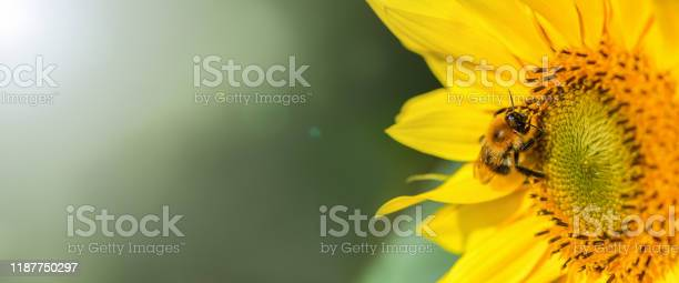 Photo of Banner. Bumblebee. One large bumblebee sits on a yellow sunflower flower on a Sunny bright day. Macro horizontal photography