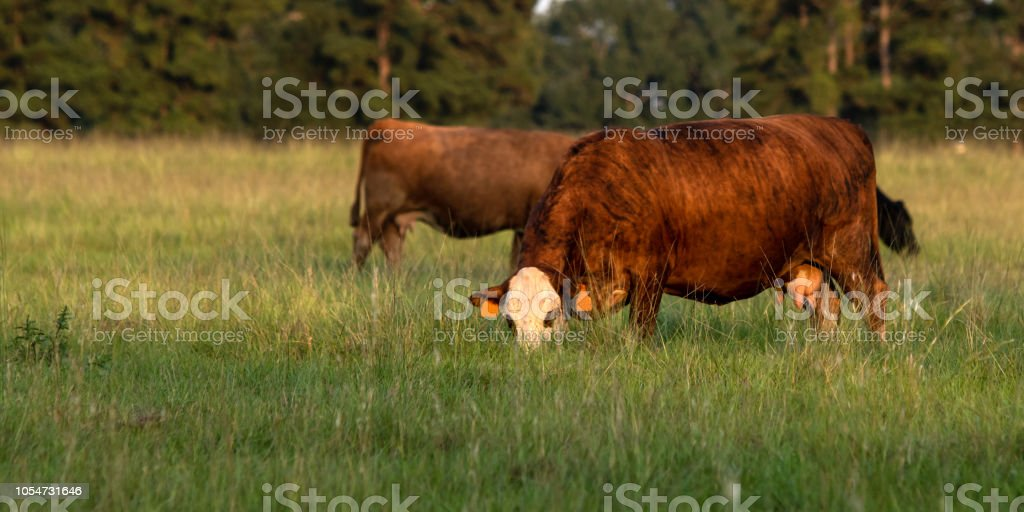 Banner Cows Grazing In Tall Bermudagrass Stock Photo Download Image Now Istock