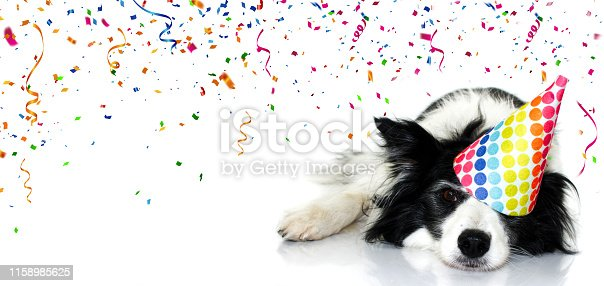Banner dog party. Border collie celebrating birthday, carnival or new year with a polka dot hat with a tired expression face. Isolated on white background and confetti, serpentine falling,