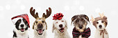 istock Banner five dogs celebrating christmas holidays wearing a red santa claus hat, reindeer antlers and red present ribbon. Isolated on gray background 1266129925