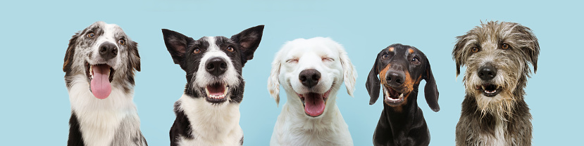 Banner five  happy dogs  smiling on colored blue backgorund with closed eyes and smile expression.