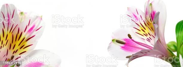 Banner floral background alstroemeria picture id1189377110?b=1&k=6&m=1189377110&s=612x612&h=5px0yrziqwwbx58rz1ro2caigqiw41vbgb3zs74noza=