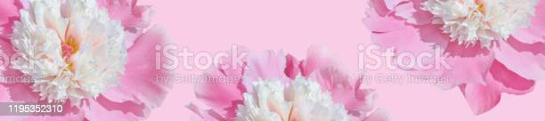 Banner floral pattern of pink peonies on a pink background picture id1195352310?b=1&k=6&m=1195352310&s=612x612&h=i8rh8f o58a43oku5j0dnlb 4pjwtix7jpedf4qpbnc=