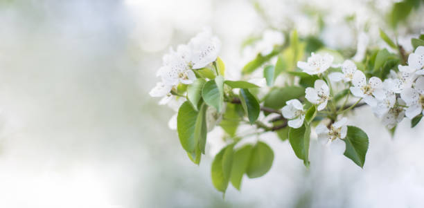 Banner. Flowering fruit tree: Apple, pear in the garden in early spring. Elongated photo Banner. Flowering fruit tree: Apple, pear in the garden in early spring. Elongated photo reincarnation stock pictures, royalty-free photos & images