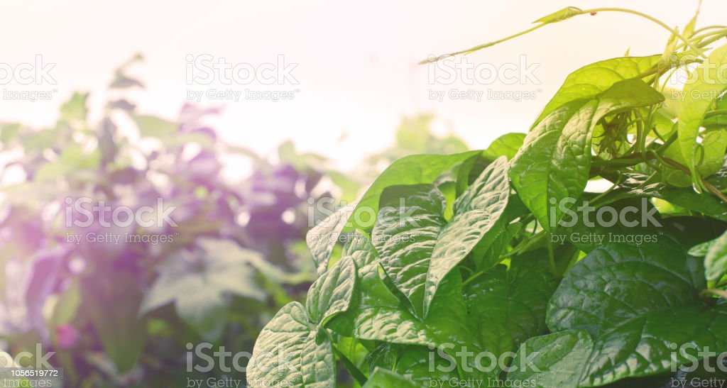 Banner Natural green bushes fresh leaves in sunlight autumn Bright rich background selective focus toning stock photo