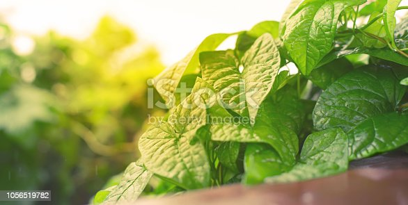 istock Banner Natural green bushes fresh leaves in sunlight autumn Bright rich background selective focus toning 1056519782