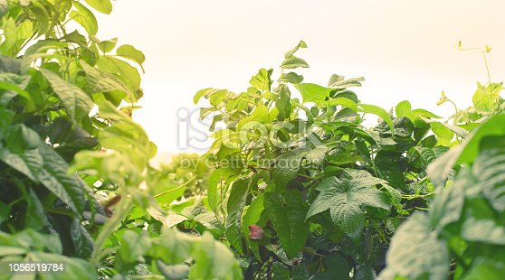istock Banner Natural green bushes fresh leaves in sunlight autumn Bright rich background selective focus toning 1056519784