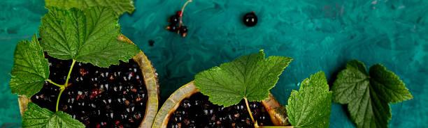 Banner der schwarzen Johannisbeere Beeren mit Blättern, schwarze Johannisbeere in grünen Schalen. – Foto
