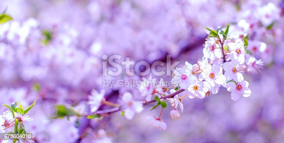 istock Banner of blossoming flowers of fruit apricot trees with selective focus and shallow depth of field, artistic toning 678604010