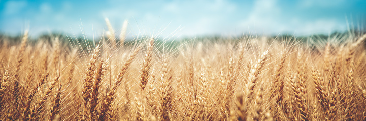 istock Banner Of Ripe Golden Wheat 1160077898