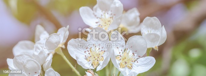 istock banner spring flowers of pear tree on the branches 1082404088