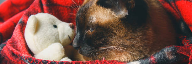 Banner the siamese thai cat is wrapped in a plaid with a soft toy the picture id1006774378?b=1&k=6&m=1006774378&s=612x612&w=0&h=kx6k oy61dgarydq6 e rcmmrin971lkdfdh waosxy=