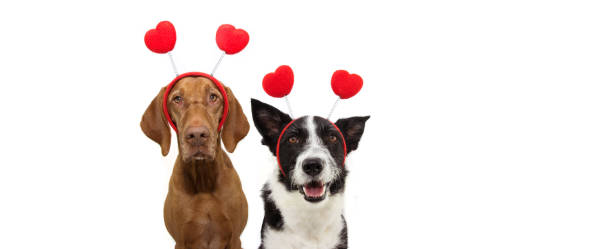 banner two group dogs puppy love celebrating valentine's day with a red heart shape diadem. isolated on white background. happy expression. - diadem stock pictures, royalty-free photos & images