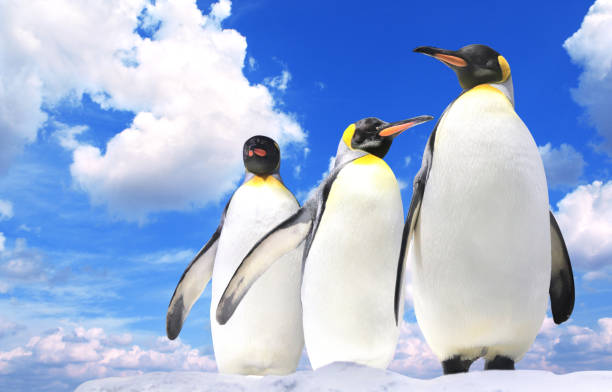 Banner with three emperor penguins on blue sky background Horizontal banner with three emperor penguins on blue sky background. Copy space for text. Mock up template emperor penguin stock pictures, royalty-free photos & images