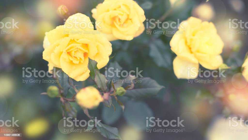 Banner Yellow rose Bush in the garden Blooming plant blurred background selective focus Top view stock photo