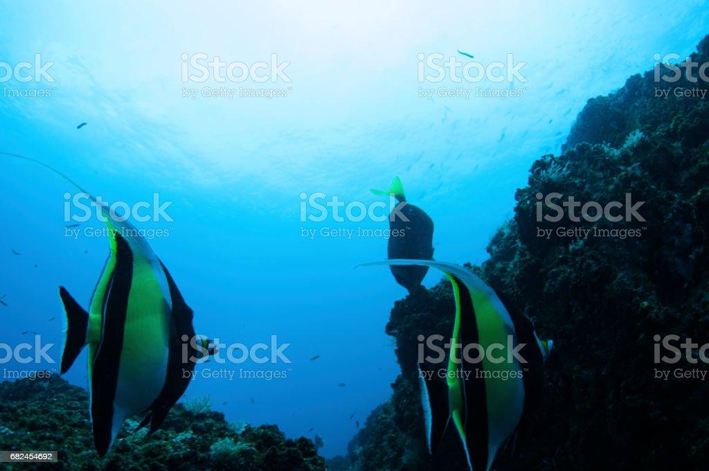 Bannerfish close in front of rocky area scuba under water foto de stock libre de derechos