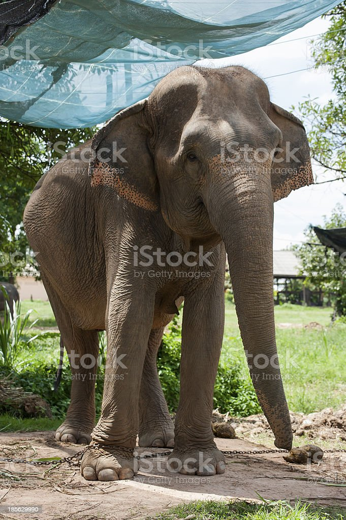 BanTaKlang Elephant Village (Study Center) Surin Thailand royalty-free stock photo