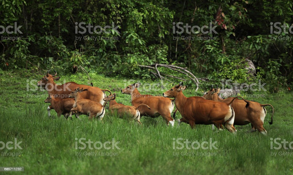 Banteng (Bos javanicus) a species of wild cattle found in Southeast Asia. drink mineral water royalty-free stock photo