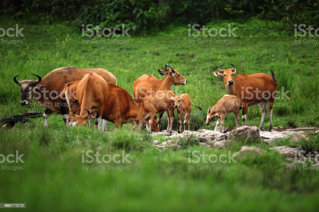 雄牛 (Bos 之感病率) 物種的野生牛只分佈在東南亞。 免版稅 stock photo