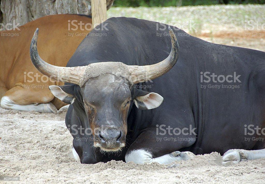 Banteng ox stock photo